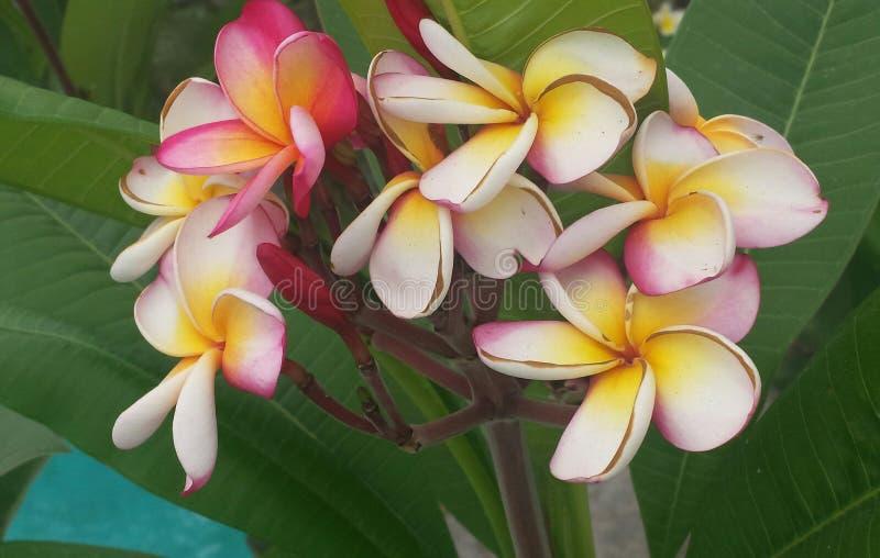 Hawaiansk skönhet fotografering för bildbyråer