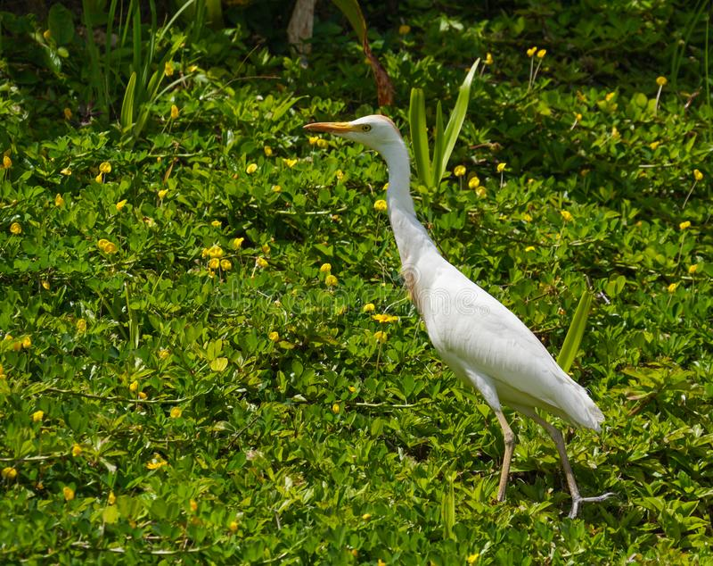 Hawaii ägretthäger i ett fält av grönt och gult royaltyfria bilder