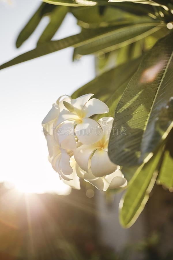 Hawaii 2019_03. A sunset bursting through a white flower and it`s green leaves royalty free stock image