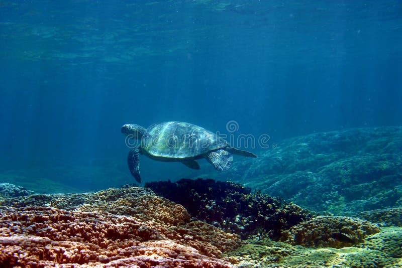 Hawaii Green Sea Turtle. Photo of a Hawaiian Green Sea Turtle, swimming over a coral reef in Hawaii stock image