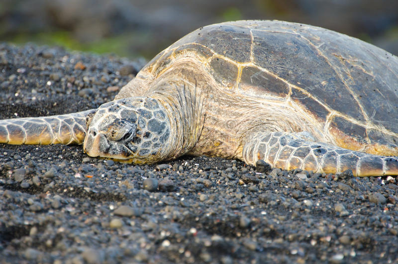 Hawaii Green Sea Turtle on Black Sand Beach. A Hawaii Green Sea Turtle sleeping on Black Sand Beach royalty free stock photo