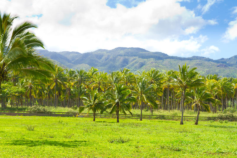 Download Hawaii Palm Tree Coconut Farm Stock Image - Image: 29583825