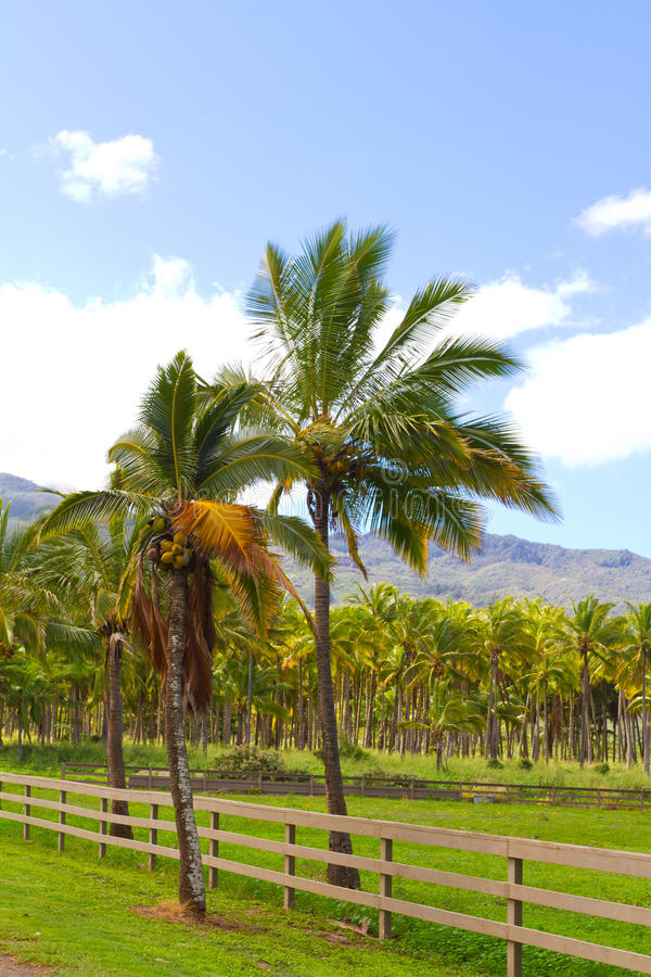 Download Hawaii Palm Tree Coconut Farm Stock Image - Image: 29583859