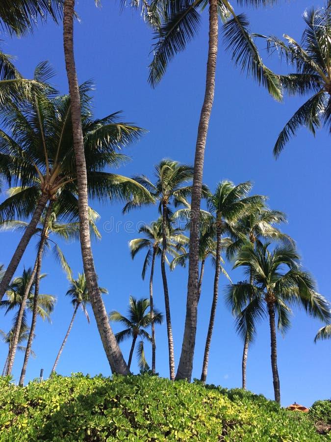 Hawaii-Palme lizenzfreie stockbilder