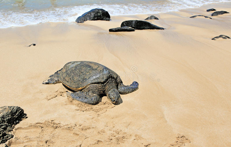 Hawaii Green Sea Turtles. Hawaiian Green Sea Turtle resting in sun on beach in Kona, Hawaii stock photos