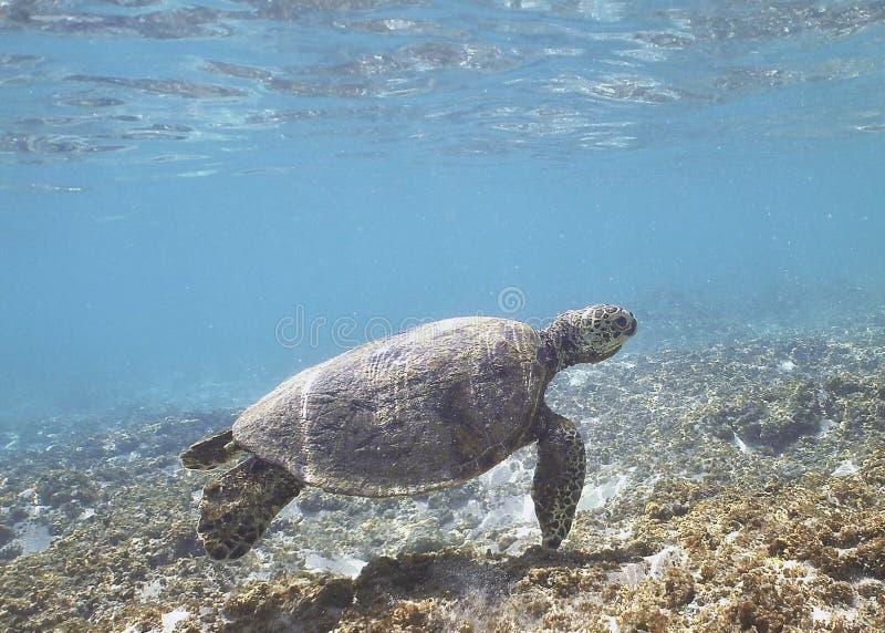 Hawaiiaanse Groene Overzeese Schildpad stock fotografie