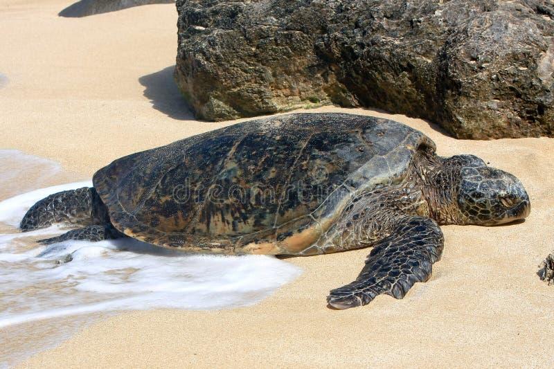 Hawaiiaanse groene overzeese schildpad die in de zon zonnebaadt. royalty-vrije stock foto