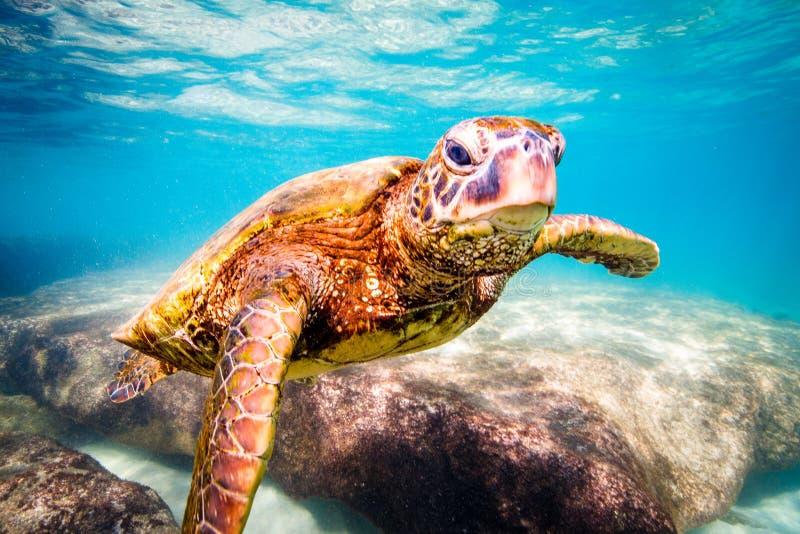 Hawaiiaanse Groene Zeeschildpad die in de warme wateren van de Vreedzame Oceaan kruisen stock foto's