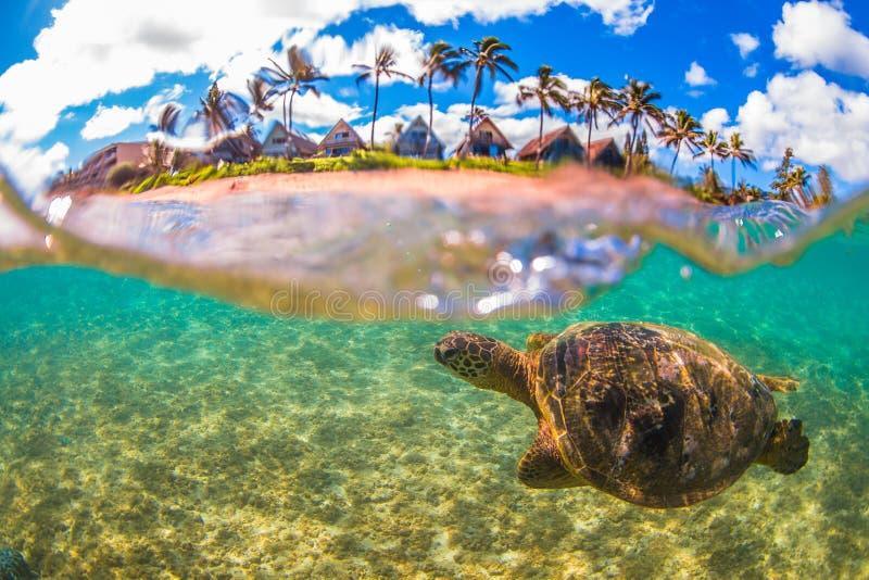 Hawaiiaanse Groene Zeeschildpad die in de warme wateren van de Vreedzame Oceaan kruisen stock foto