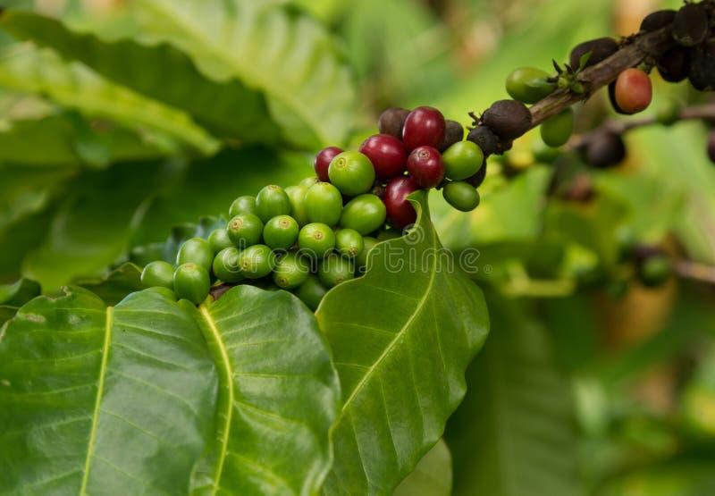 Hawaiiaanse Rode de koffiebonen van Kona bij boom het groeien in aanplanting binnen stock afbeeldingen