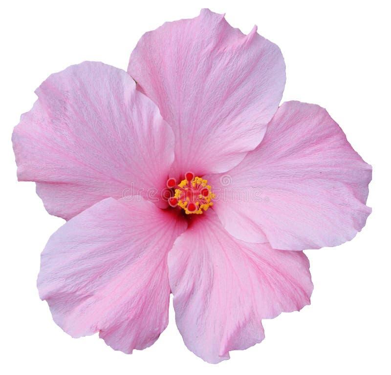 Hawaiiaanse Roze Hibiscus die op wit wordt geïsoleerd royalty-vrije stock fotografie