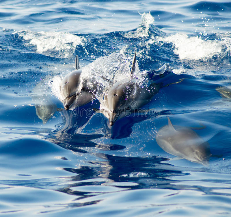 Hawaiiaanse Spinnerdolfijnen stock afbeeldingen