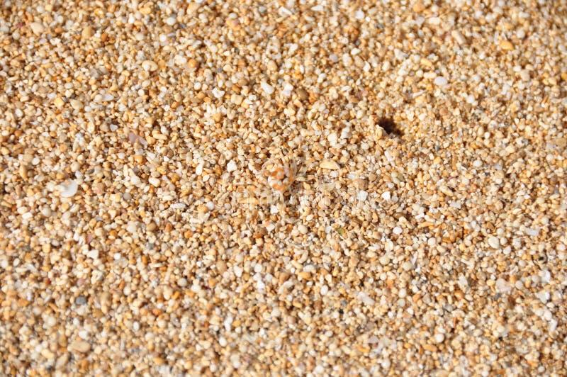 Hawaiian beach sand with small soft-shell crab stock image