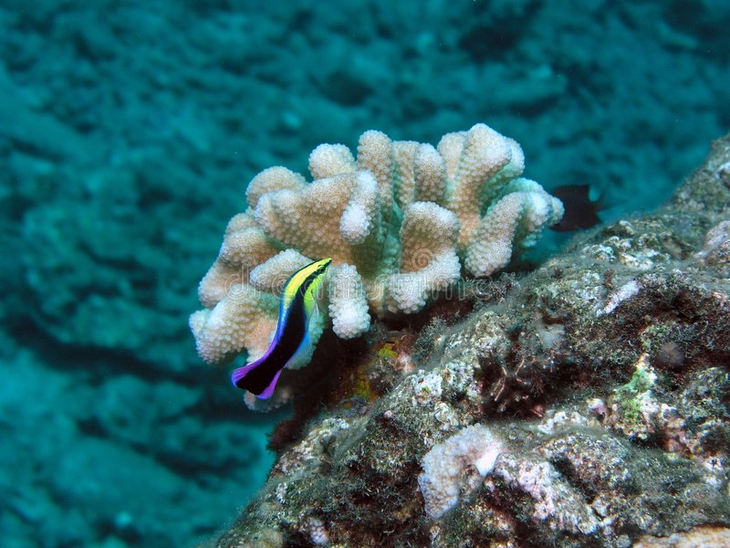 Hawaiian cleaner wrasse royalty free stock image