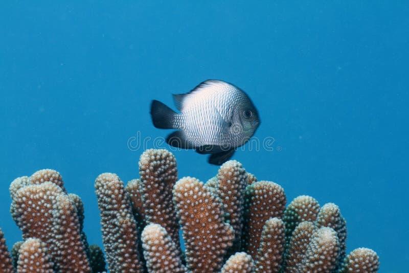 hawaiian dascyllus стоковое фото rf
