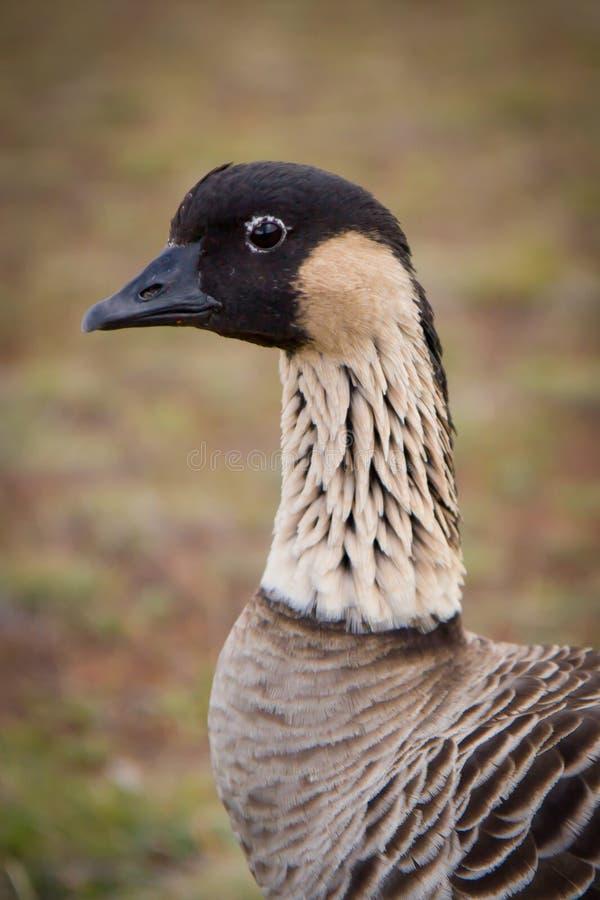 Free Hawaiian Goose - Nene - Closeup Stock Photography - 15503082
