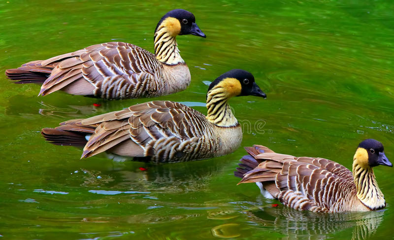 Hawaiian goose royalty free stock photos