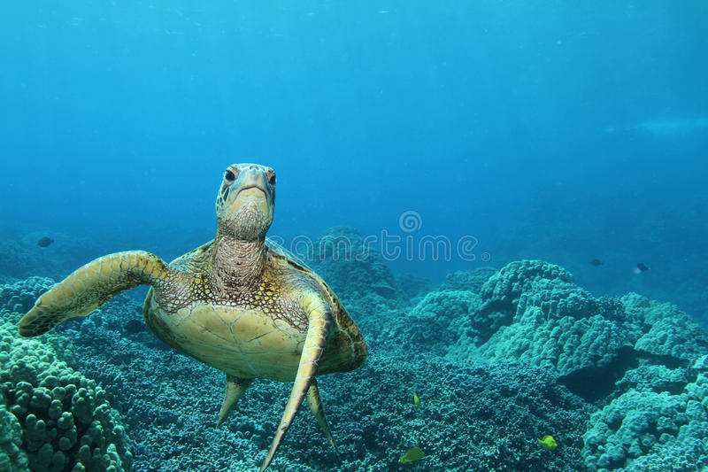 Hawaiian Green Sea Turtle royalty free stock photography