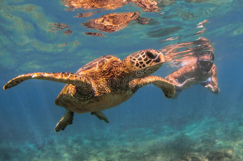 Hawaiian Green Sea Turtle cruising in the warm waters of the Pacific Ocean. A Hawaiian Green Sea Turtle Cruising in the warm waters of the Pacific Ocean in stock images