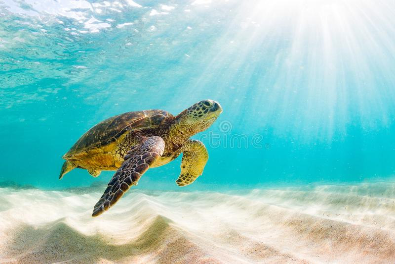 Hawaiian Green Sea Turtle cruising in the warm waters of the Pacific Ocean royalty free stock image