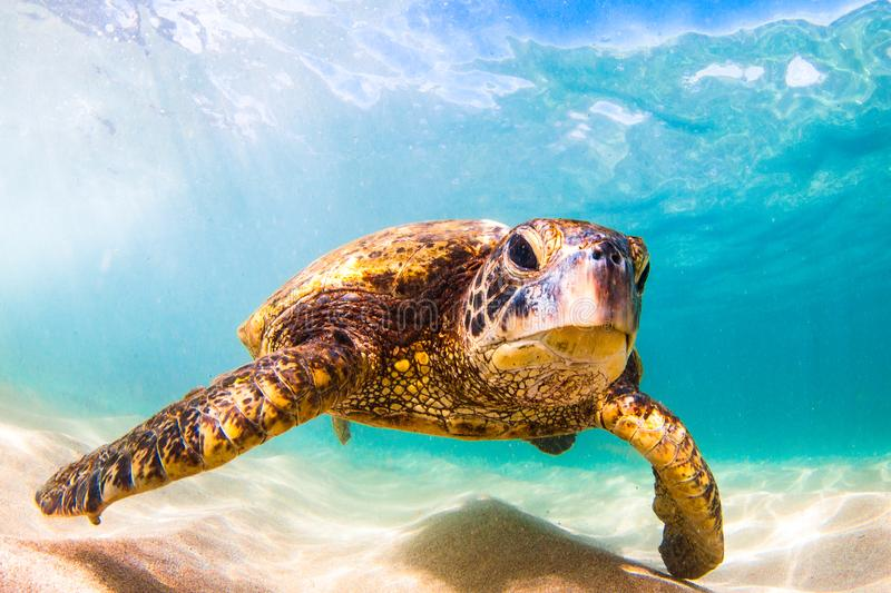 Hawaiian Green Sea Turtle cruising in the warm waters of the Pacific Ocean. A Hawaiian Green Sea Turtle Cruising in the warm waters of the Pacific Ocean in royalty free stock images