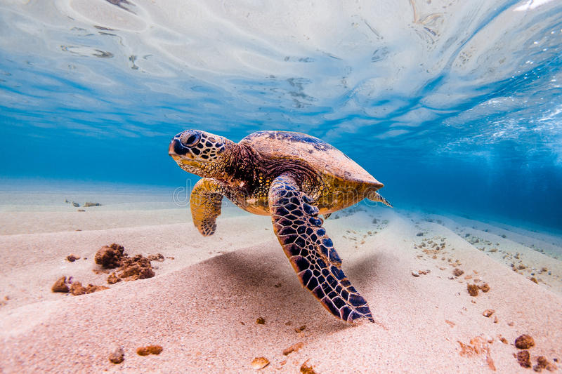 Hawaiian Green Sea Turtle. An endangered Hawaiian Green Sea Turtle cruises in the warm shallow waters of the Pacific Ocean on the North Shore of Oahu, Hawaii