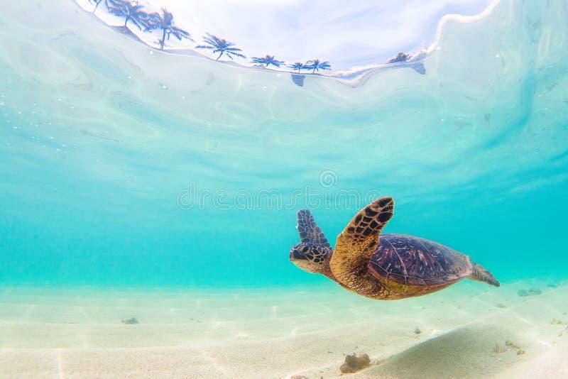 Hawaiian Green Sea Turtle. An endangered Hawaiian Green Sea Turtle cruises in the warm shallow waters of the Pacific Ocean on the North Shore of Oahu, Hawaii stock photography