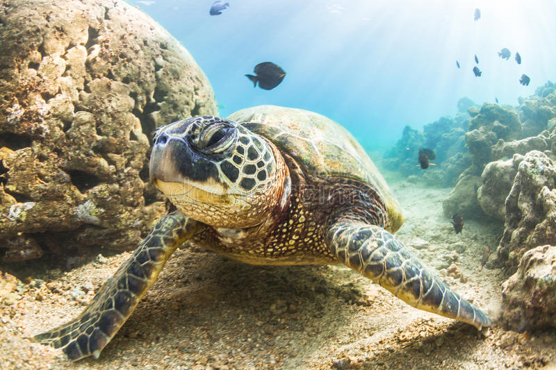 Hawaiian Green Sea Turtle. An endangered Hawaiian Green Sea Turtle cruises in the warm shallow waters of the Pacific Ocean on the North Shore of Oahu, Hawaii royalty free stock images