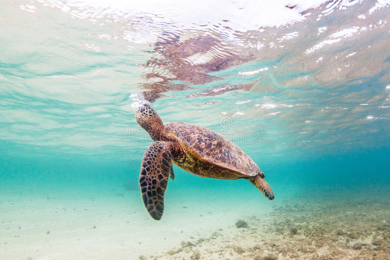 Hawaiian Green Sea Turtle. An endangered Hawaiian Green Sea Turtle cruises in the warm shallow waters of the Pacific Ocean on the North Shore of Oahu, Hawaii stock image