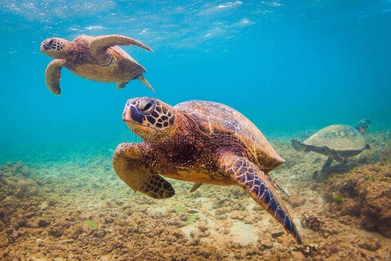 Hawaiian Green Sea Turtle. An endangered Hawaiian Green Sea Turtle cruises in the warm shallow waters of the Pacific Ocean on the North Shore of Oahu, Hawaii stock photos