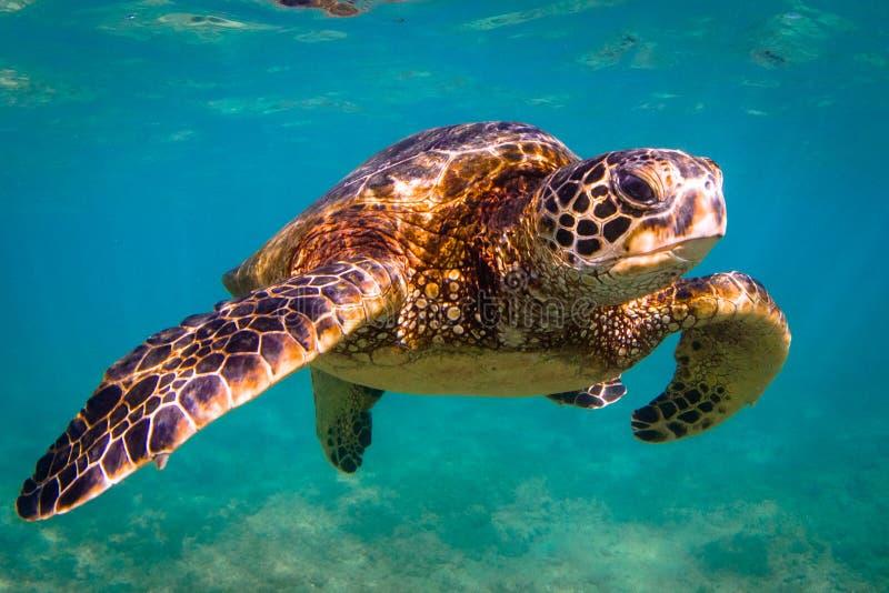 Hawaiian Green Sea Turtle. An endangered Hawaiian Green Sea Turtle cruises in the warm waters of the Pacific Ocean in Hawaii royalty free stock photos