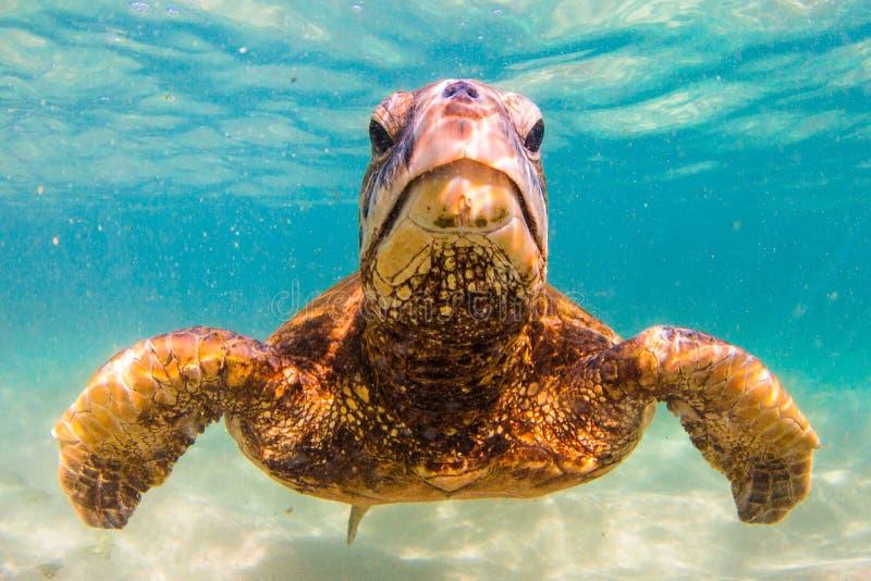 Hawaiian Green Sea Turtle. An endangered Hawaiian Green Sea Turtle cruises in the warm waters of the Pacific Ocean in Hawaii stock images