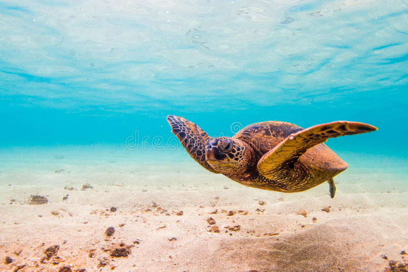 Hawaiian Green Sea Turtle. An endangered Hawaiian Green Sea Turtle cruises in the warm waters of the Pacific Ocean in Hawaii royalty free stock photography