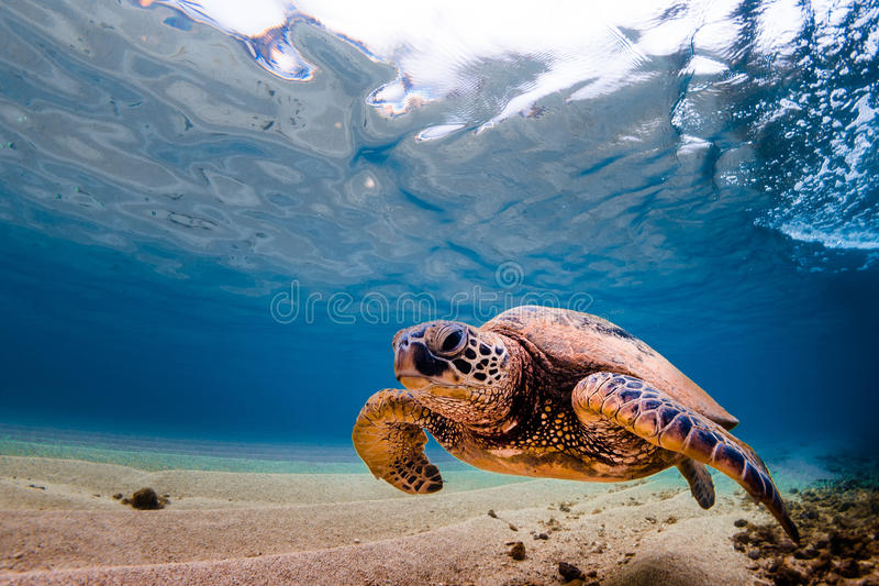 Hawaiian Green Sea Turtle. An endangered Hawaiian Green Sea Turtle cruises in the warm waters of the Pacific Ocean in Hawaii stock photography