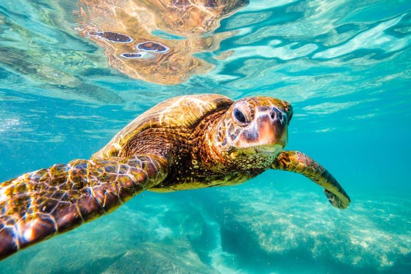 Hawaiian Green Sea Turtle. Endangered Hawaiian Green Sea Turtle cruising in the warm waters of the Pacific Ocean in Hawaii royalty free stock photos