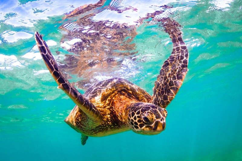 Hawaiian Green Sea Turtle. Endangered Hawaiian Green Sea Turtle cruising in the warm waters of the Pacific Ocean in Hawaii royalty free stock image