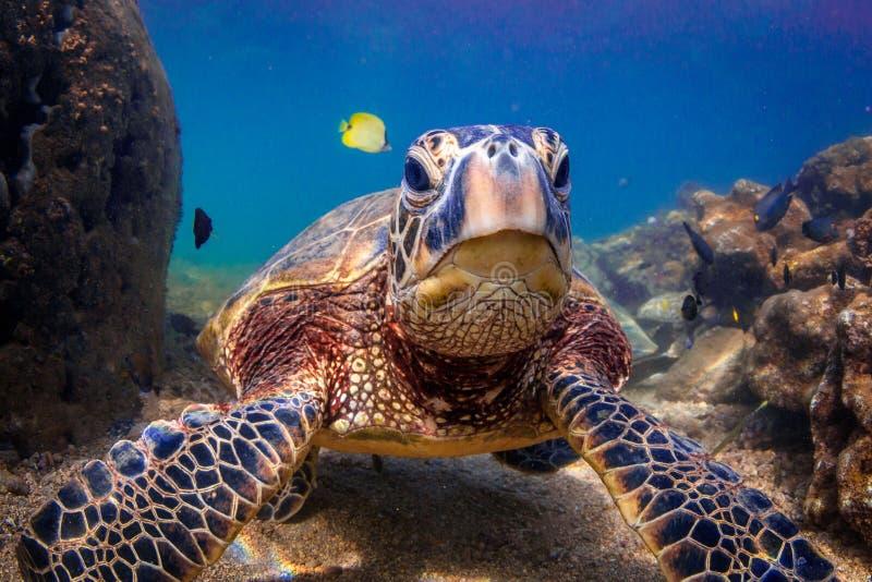 Hawaiian Green Sea Turtle. Endangered Hawaiian Green Sea Turtle cruising in the warm waters of the Pacific Ocean in Hawaii stock image