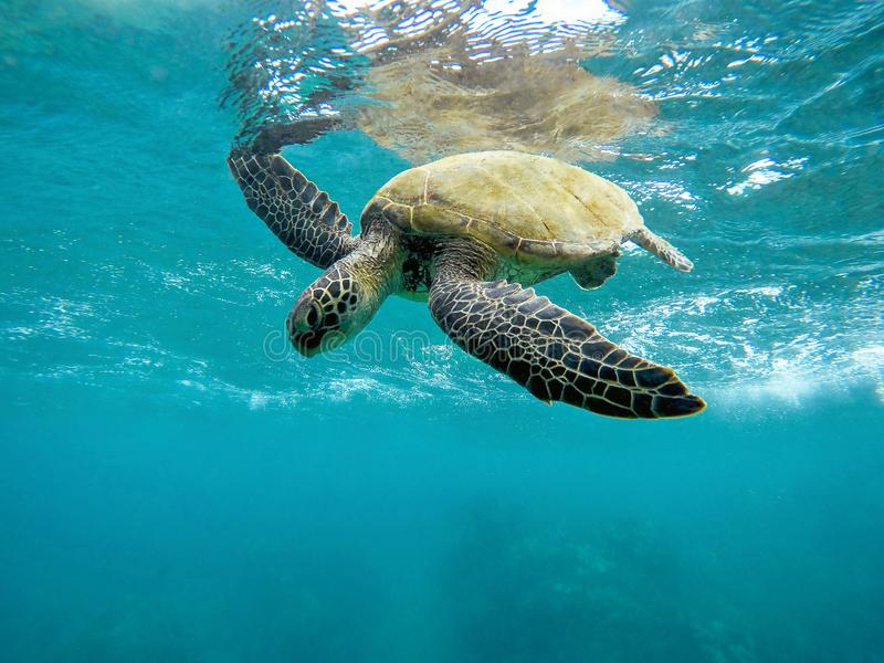 Green Sea Turtle with Open Arms in Maui Hawaii. This is a Hawaiian green sea turtle in Maui Hawaii. He is swimming with his arms up over the blue Pacific Ocean royalty free stock images