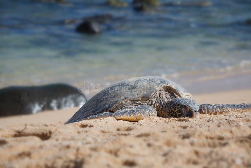 Hawaiian Green Sea Turtle in Maui, HI stock images