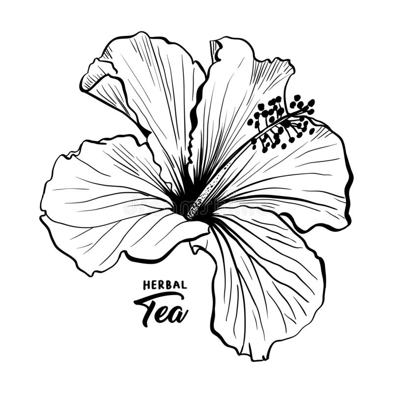 Hawaiian Hibiscus Fragrance Flower or Mallow Rose. Flora and Plant royalty free illustration