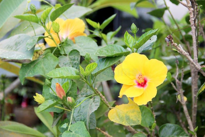 Hawaiian hibiscus stock image