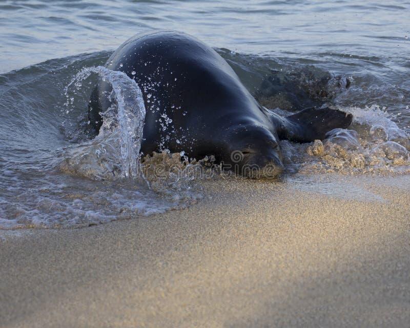 Hawaiian Monk Seal. An Hawaiian monk seal known as Rocky coming ashore in the Waikiki Marine Life Conservation District, on the island of O'ahu, Hawai'i, USA royalty free stock photo