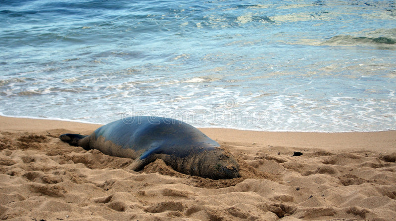 Download Hawaiian Monk Seal Lounging On Beach Stock Image - Image of blue, beach: 9196635