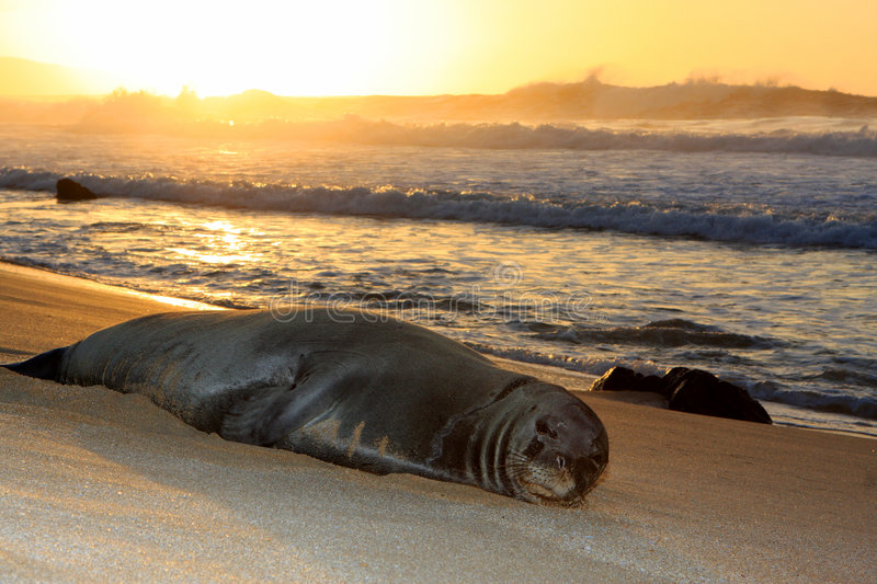 Hawaiian Monk seal resting stock photos