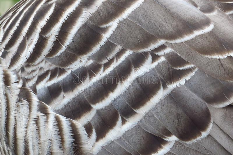 Hawaiian nene goose feathers, Kauai, Hawaii. Close up of the feathers of a Hawaiian Nene Goose at Kilauea Point National Wildlife Refuge, Kauai, Hawaii royalty free stock image