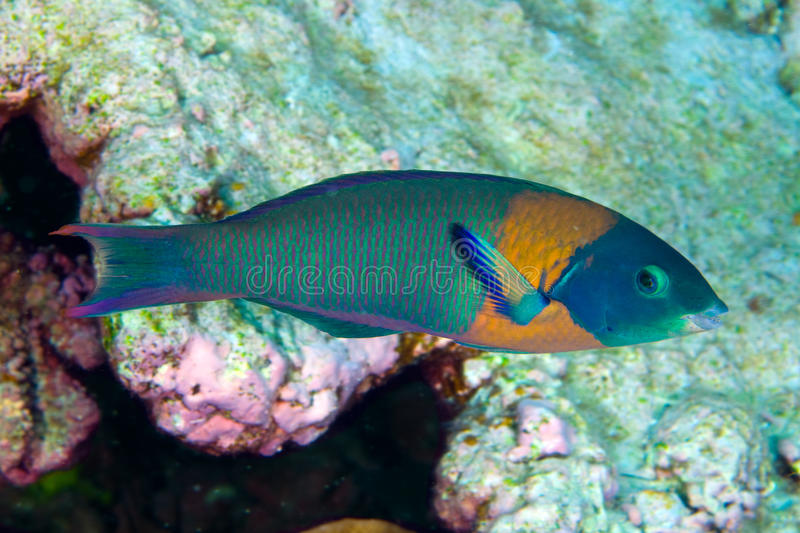 Download Hawaiian saddled wrasse stock image. Image of pacific - 15715311