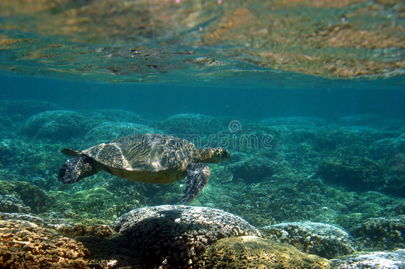 Download Hawaiian Sea Turtle Below The Surface Stock Image - Image: 13313