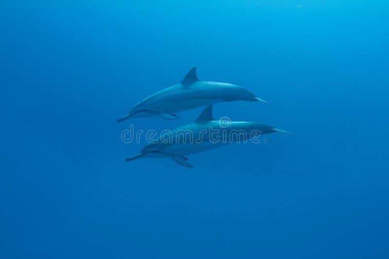 Hawaiian Spinner Dolphin royalty free stock image
