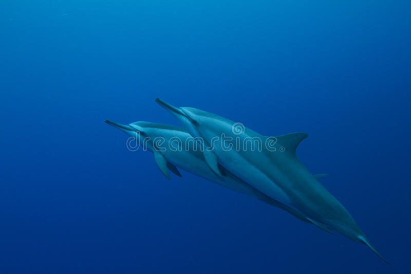 Hawaiian Spinner Dolphin royalty free stock photography