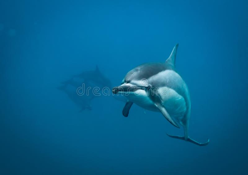 Hawaiian spinner dolphin stock photos